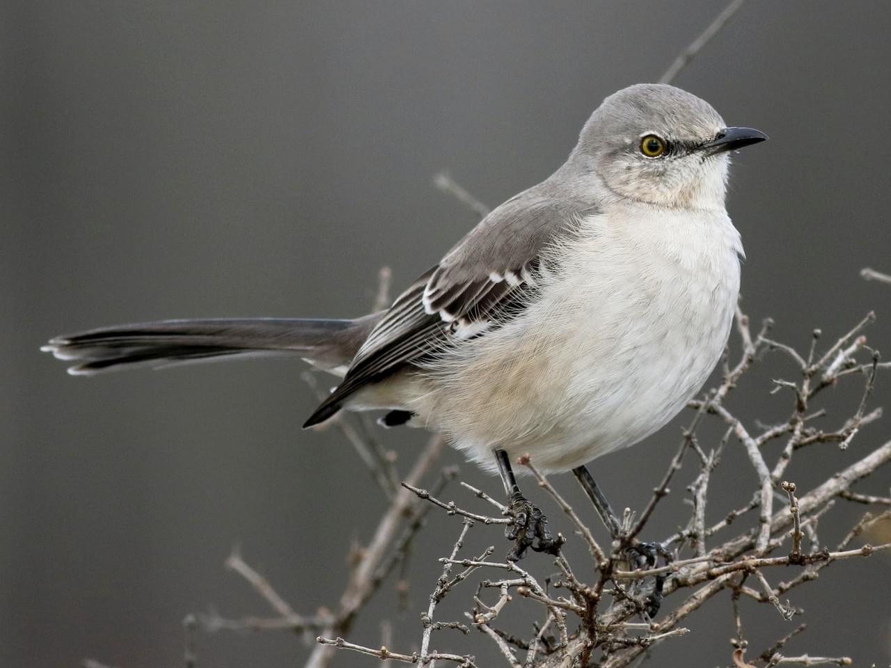 Common Mocking-Bird