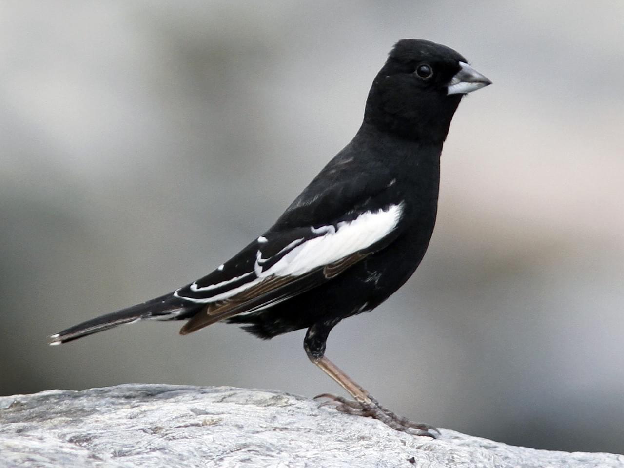 Prairie Lark-Finch